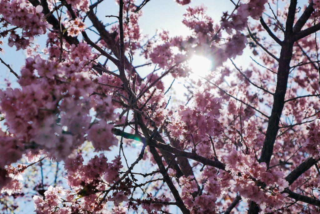 Taiwan's Cherry Blossom Festival 2017!